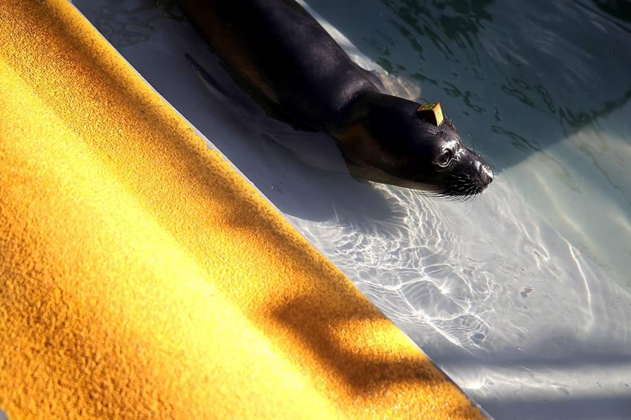 Foca aguarda por tratamento em centro de reabilitação de focas em Sausalito, na Califórnia
