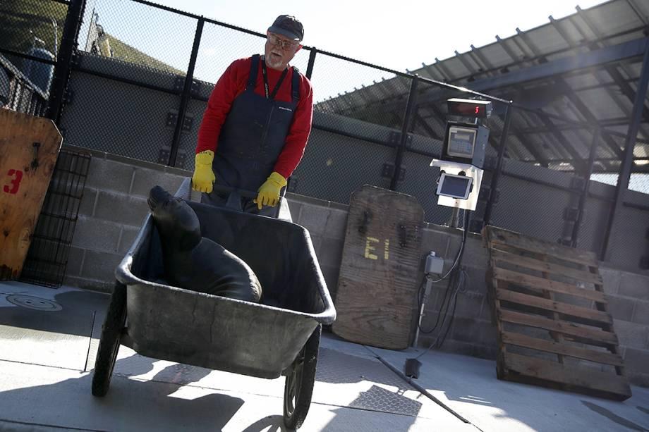 Funcionário cuida de foca internada em centro de reabilitação para focas em Sausalito, na Califórnia