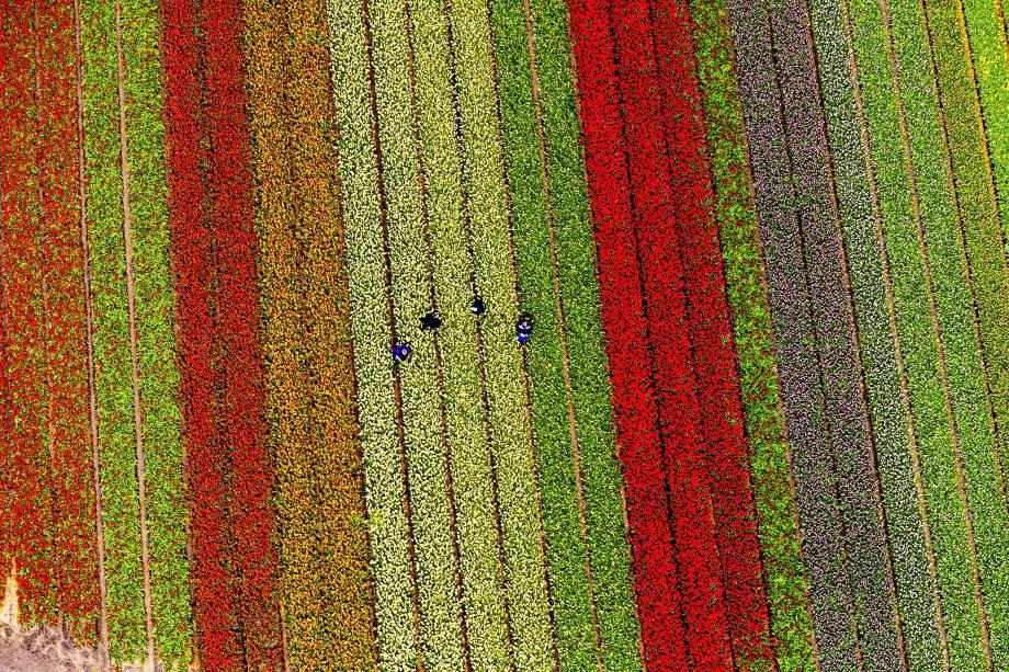 Foto aérea feita em Lisse, na Holanda mostra os campos repletos de tulipas