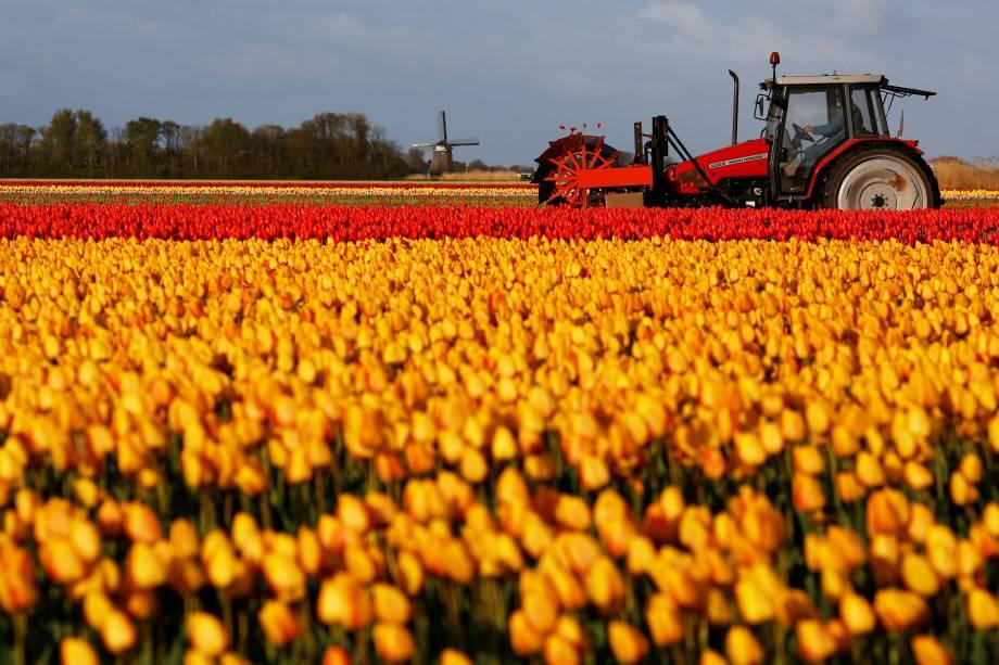 Trator trabalha na colheita de tulipas em um campo em Den Helder, na Holanda