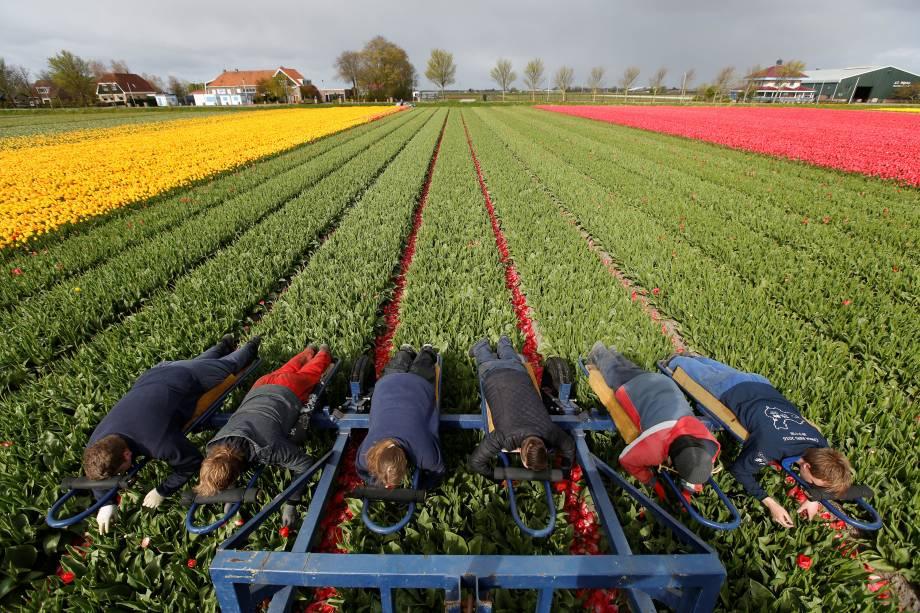 Trabalhadores sobem em um trator para recolher tulipas em campo em Don Helder, na Holanda