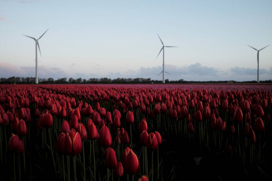 Campo de tulipas em Den Helder, na Holanda