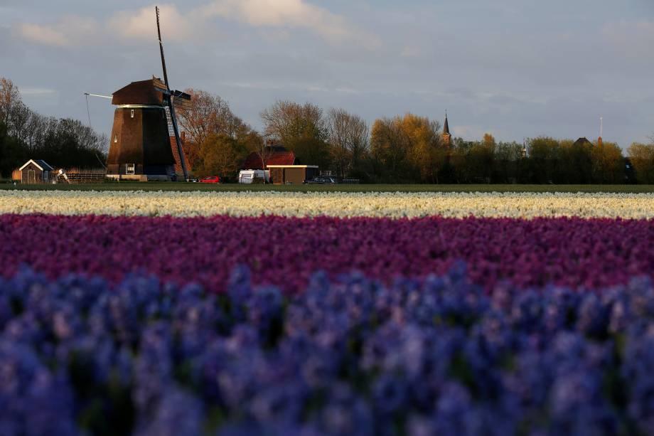 O nascer do sol brilha sobre os campos da tulipa em Den Helder, na Holanda