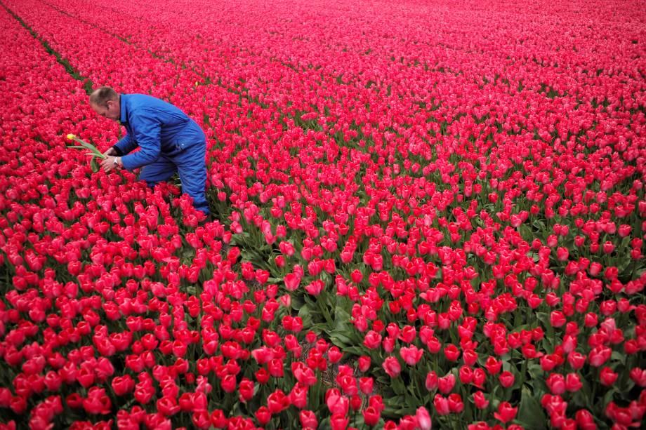 O fazendeiro colhe uma tulipa amarela de um campo de flores vermelhas para evitar que o seu crescimento danifique o resto da plantação, em Den Helderin, na Holanda