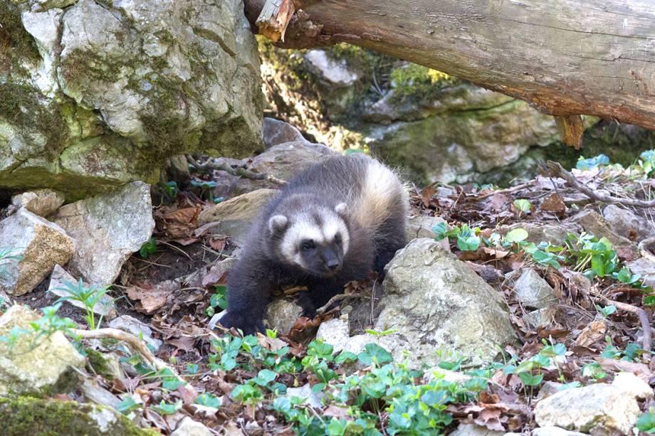 Carcaju é fotografado em um parque ecológico na Bélgica - 14/04/2017