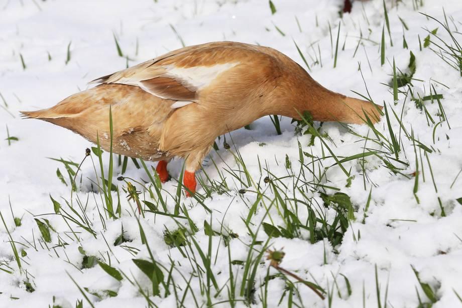Pato procura por alimento em um prado coberto de neve  perto de Aitrang, sul da Alemanha - 19/04/2017