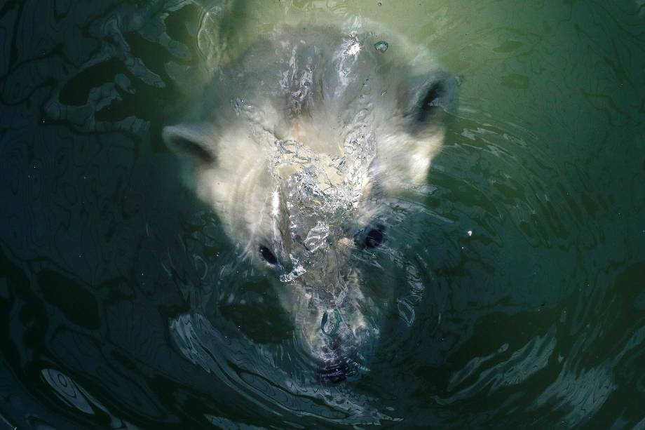 Aurora, ursa polar de sete anos, nada na piscina do zoológico Royev Ruchey no subúrbio da cidade de Krasnoyarsk, na Rússia - 24/04/2017