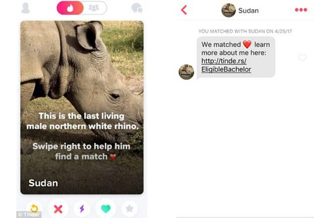Sudan, rinoceronte branco do norte ganha perfil no Tinder