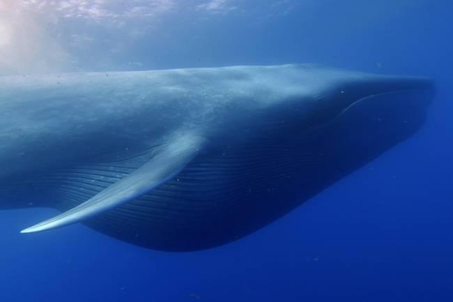 Baleia azul, o maior animal vertebrado da história, na costa da Califórnia, Estados Unidos
