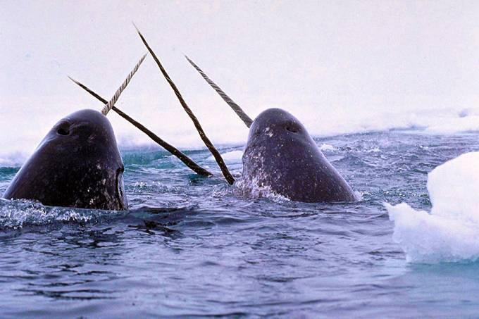 Baleia narval