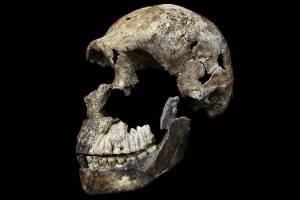 Crânio hominídeo