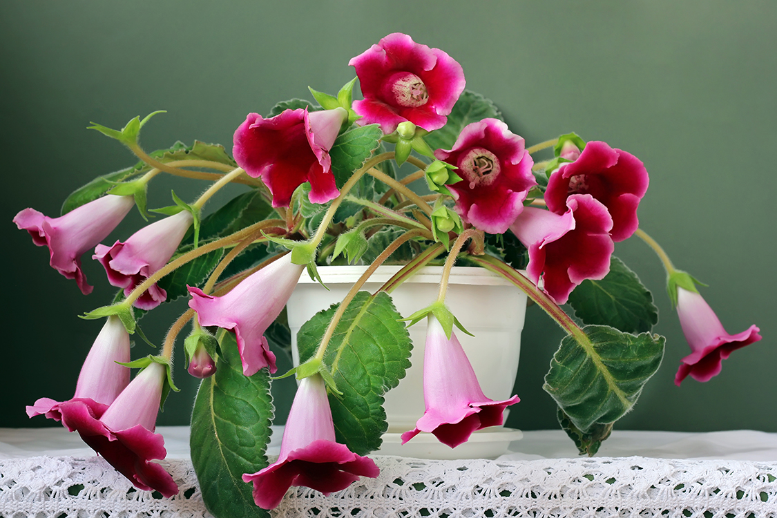 Gloxínia (Sinningia speciosa)