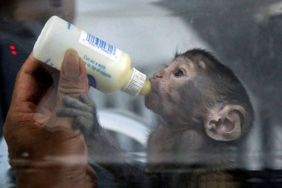 Macaco recém-nascido bebe o leite em uma mamadeira no zoológico de Zhengzhou, na província de Henan, China - 23/05/2017