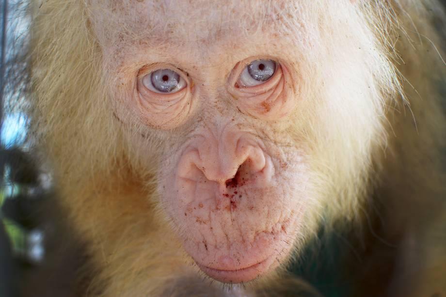 Foto divulgada pela fundação da sobrevivência do orangotango de Bornéu mostra um orangotango albino raro que foi salvo após ficar mantido em uma gaiola por aldeões em Kapuas Hulu, na Indonésia