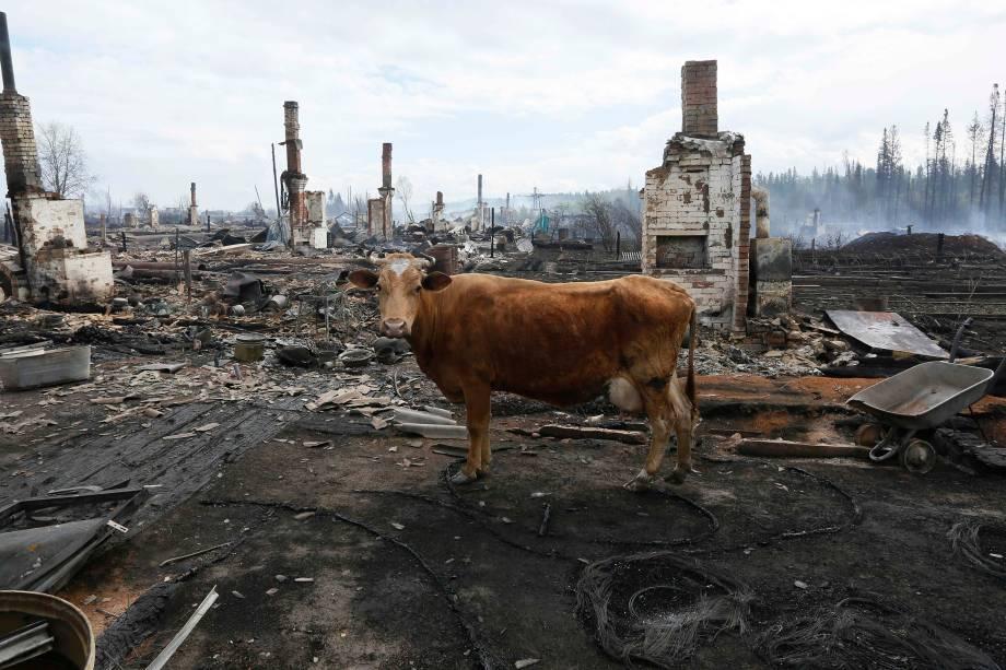 Uma vaca é fotografada entre os restos de casas queimadas após recentes incêndios na região de Krasnoyarsk, na Sibéria, Rússia -25/05/2017