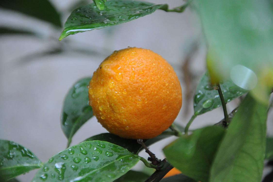 Limão-cravo