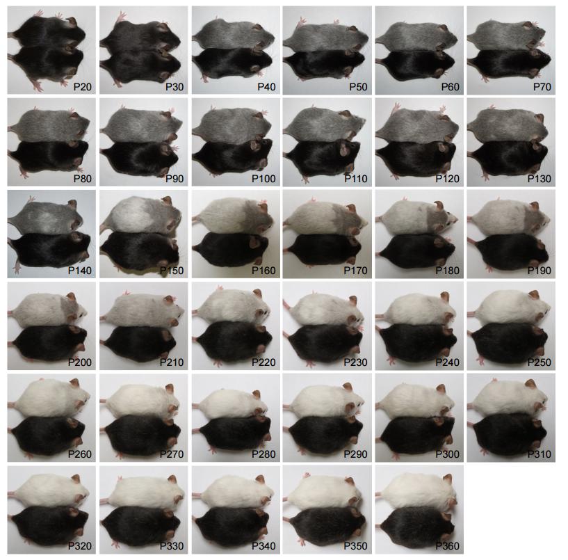 Teste: Pelagem de ratos