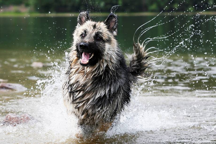 Cachorro corre na água, ao longo da margem do rio Yenisei, em um dia quente de verão, na Sibéria, Rússia - 23/06/2017