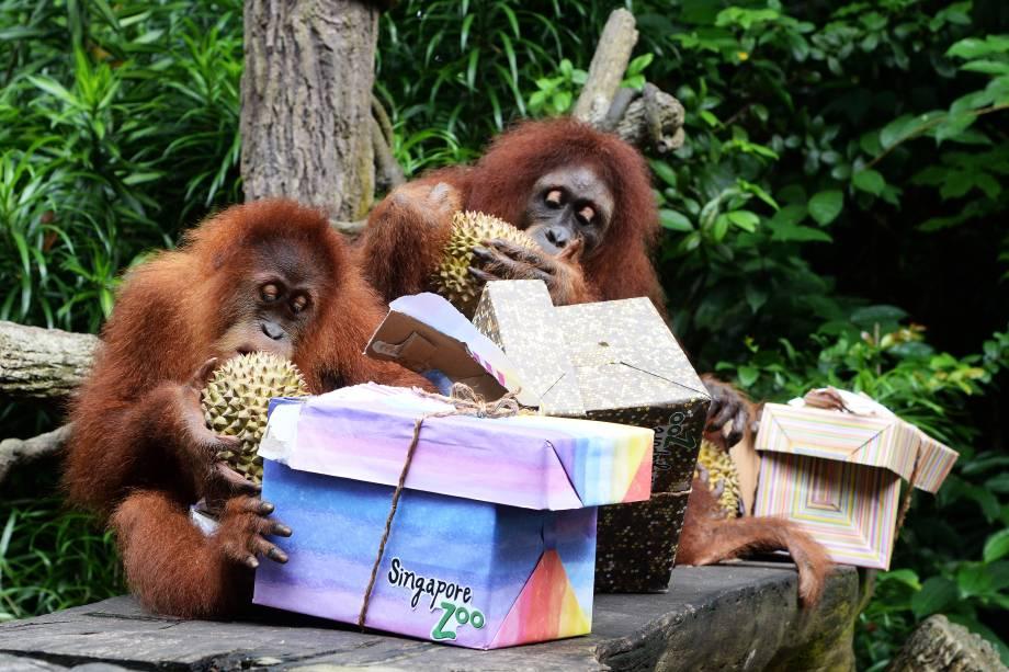 Os orangotangos Ah Meng e Comel recebem frutas de presente durante o  44º aniversário do zoológico de Singapura - 27/06/2017