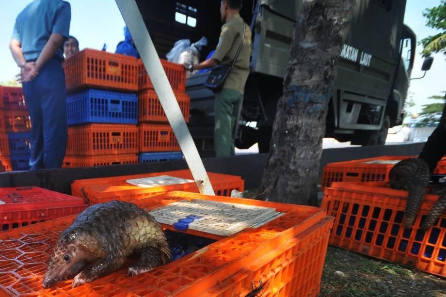 Um pangolin, mamífero mais traficado do mundo, é visto entre as caixas durante apreensão de uma carga de contrabando realizada pelas autoridades em Belawan, na Indonésia - 13/06/2017