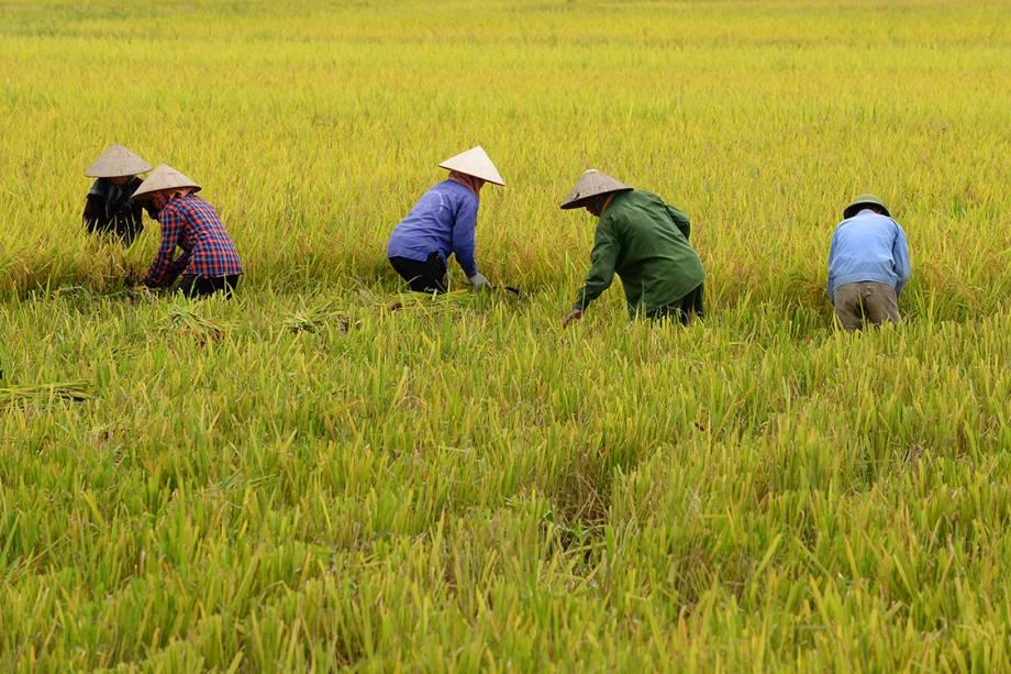 Fazendeiros colhem arroz em uma plantação nos arredores da cidade de Hanoi, no Vietnã - 09/06/2017