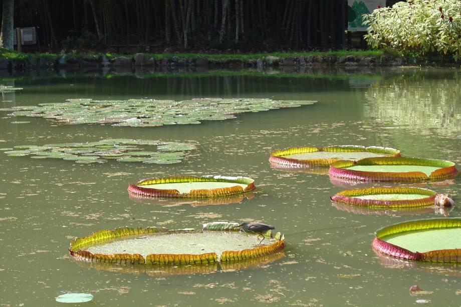 Vitória-Régia no lago Frei Leandro, no Jardim Botânico.