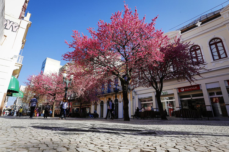 Florada das cerejeiras em Curitiba