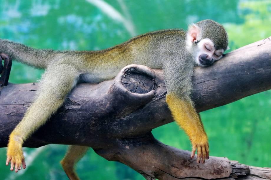 Um macaco-esquilo descansa em um galho durante um dia quente no zoológico em Zhengzhou, província de Henan, China - 20/07/2017