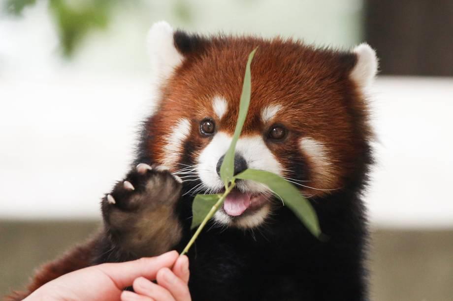 Funcionário do Parque de Vida Selvagem de Pequim alimenta espécie de urso, o Panda Vermelho, na China - 12/07/2017