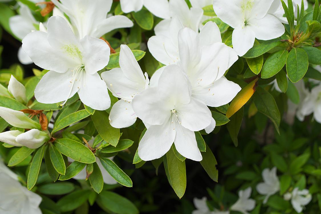 Azaleias brancas