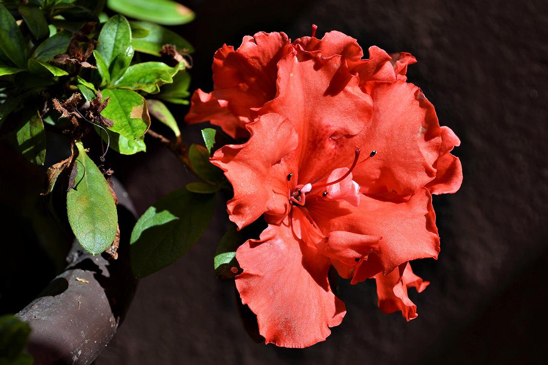 Azaleia vermelha