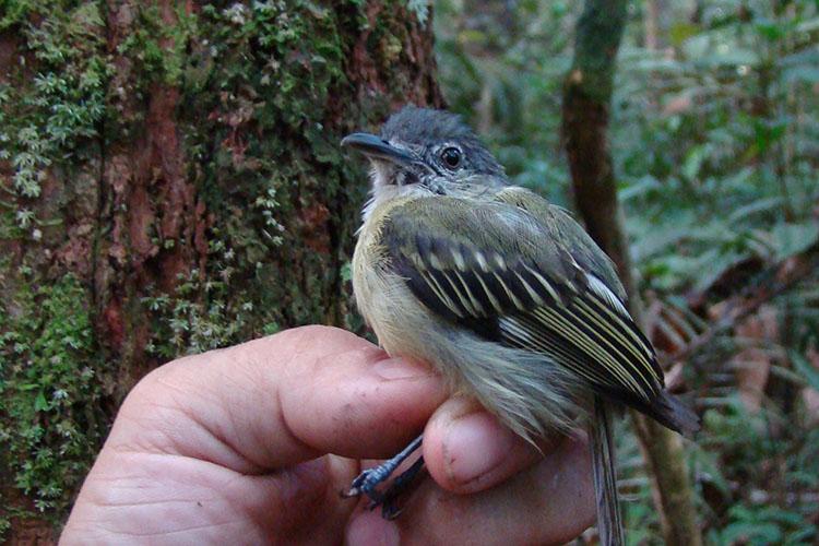 """Também conhecido como bico-chato-do-sucunduri, o pássaro 'Tolmomyias sucunduri' costuma viver em pares, na região de Sucunduri, no município de Apuí, no Amazonas. Ele acompanha bandos mistos de aves no dossel da floresta. O bico longo e chato ajuda a capturar pequenos insetos. Seu nome, originário do grego, significa """"papa-moscas ousado do Sucunduri""""."""