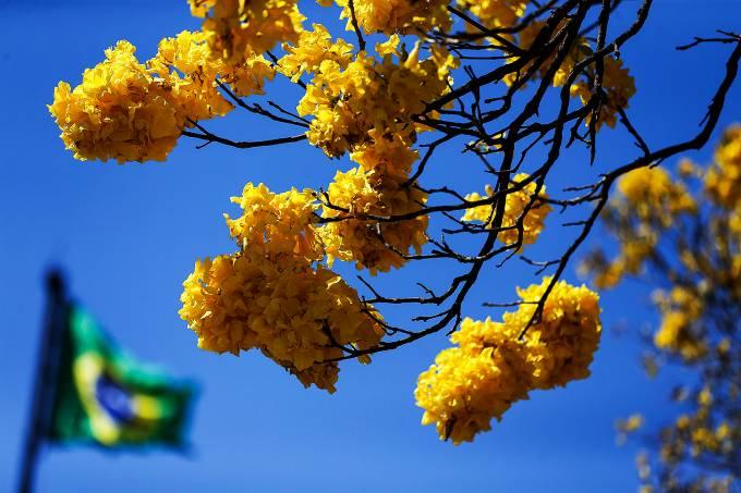 Florada de ipês-amarelos