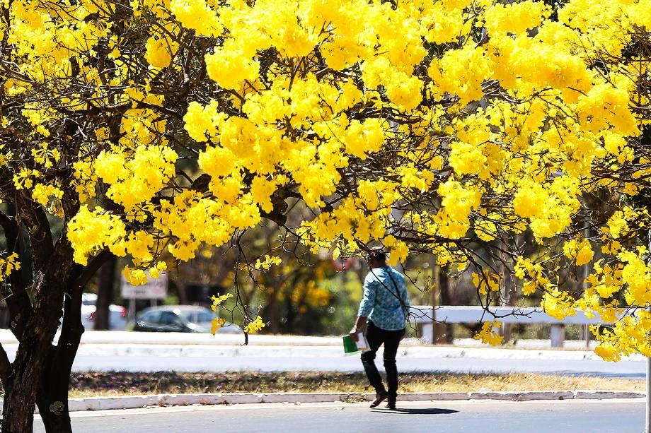 Brasília - Florada de ipês-amarelos colore o Distrito Federal - 29/08/2017