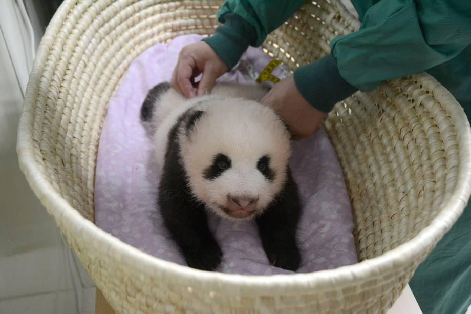 Filhote de panda gigante, nascido em junho e ainda sem nome é visto em foto fornecida pelo zoológico de Ueno em Tóquio, no Japão. O bebê de apenas dois meses e três quilos ainda não consegue ficar de pé sozinho e deve receber um nome quando completar cem dias - 11/08/2017