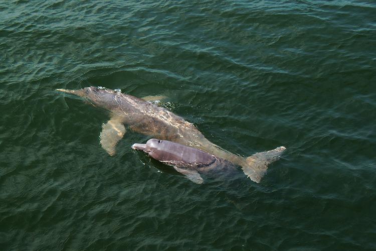 Boto 'Inia araguaiaensis', descoberto em 2014 na bacia do rio Araguaia. Estima-se que a espécie tenha surgido há 2,8 milhões de anos