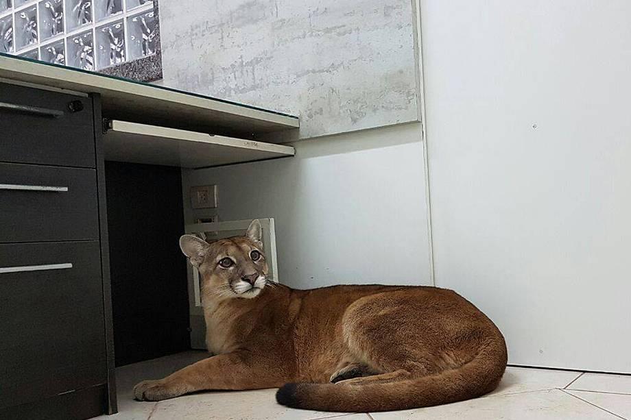 Corpo de Bombeiros divulgou nesta segunda-feira (14) a foto de uma onça-parda capturada em uma empresa de Itapecerica da Serra, na região metropolitana de São Paulo. O animal foi conduzido até uma ONG que desenvolve ações para a conservação da biodiversidade.