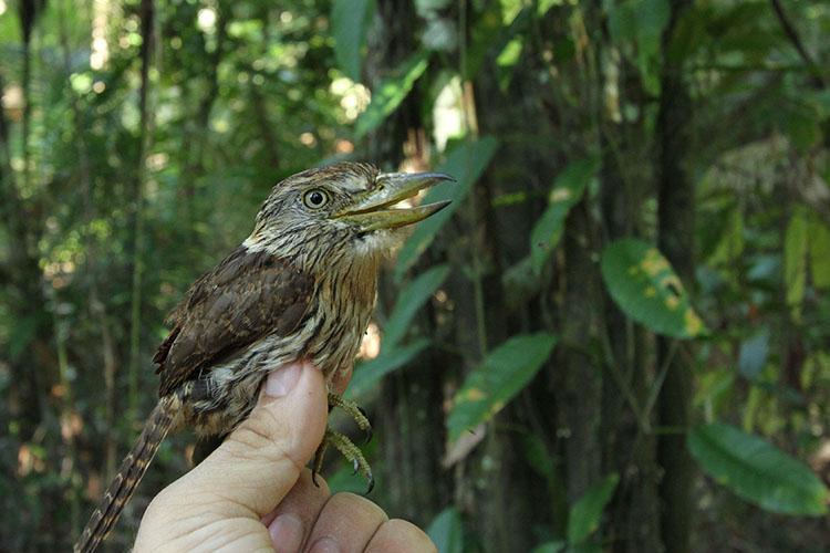 Outra imagem do pássaro 'Nystalus obamai', também conhecido como rapazinho-estriado-do-oeste
