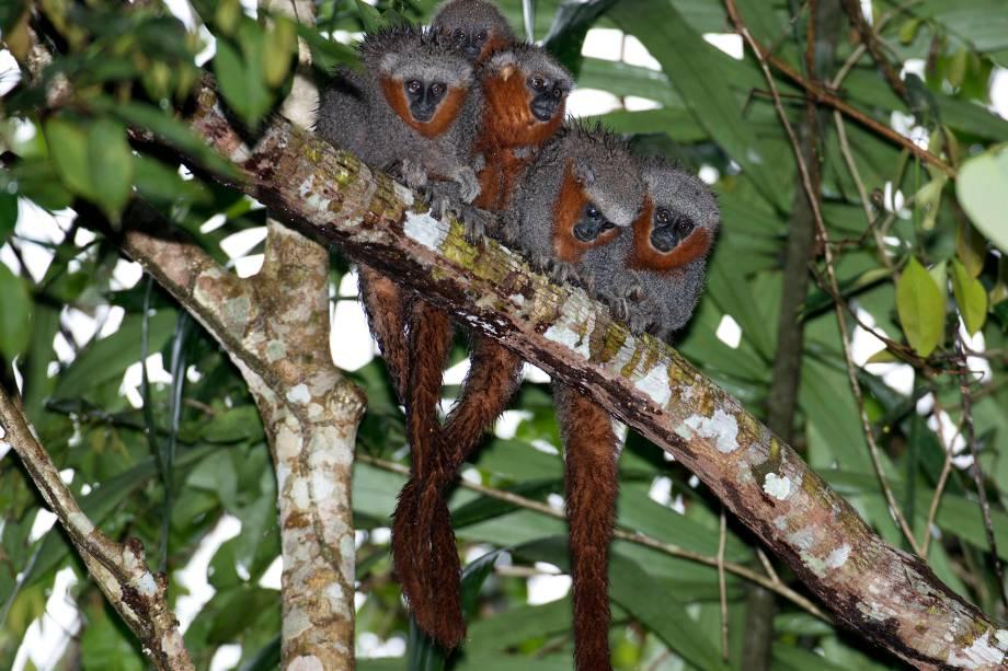 O macaco 'Plecturocebus miltoni', também chamado zogue-zogue-rabo-de-fogo, que vive entre os rios Roosevelt e Aripuanã, nos estados de Mato Grosso, Amazonas e Rondônia. Encontrado geralmente em grupos, esses animais são muito difíceis de ver, apesar da pelagem vermelha chamativa. A espécie é endêmica do Brasil, ou seja, só pode ser encontrada em território nacional