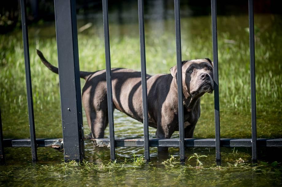 Cachorro aguarda resgate em jardim alagado por tempestade trazida pelo furacão Harvey, em Louisiana