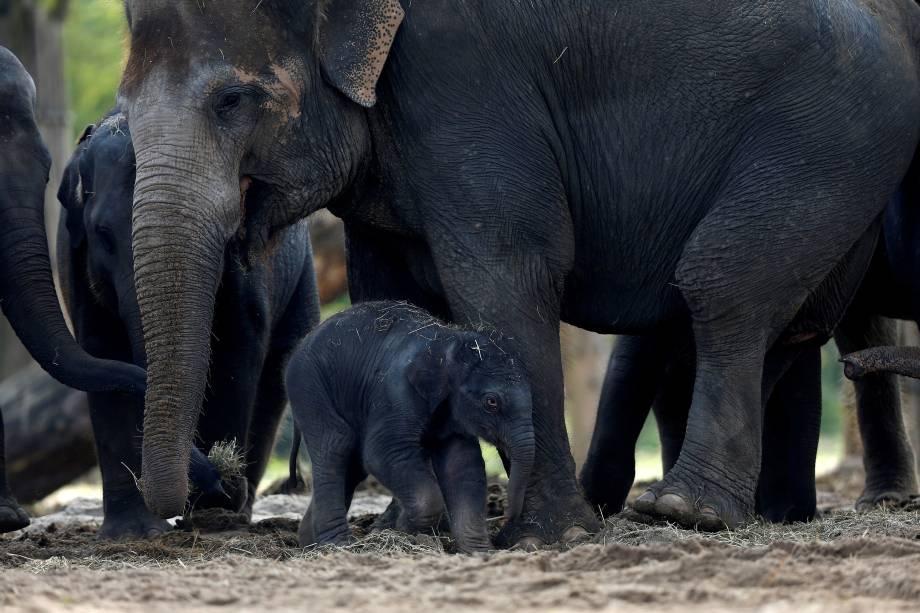 Um elefante asiático recém-nascido é retratado com membros de sua família no parque selvagem de Pairi Daiza, um jardim botânico e zoológico em Brugelette, na Bélgica - 20/09/2017