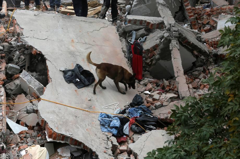 Um cachorro do corpo de bombeiros ajuda na busca por sobreviventes, em meio aos destroços de edifícios abalados pelo terremoto de 7,1 graus que atingiu a Cidade do México - 19/09/2017