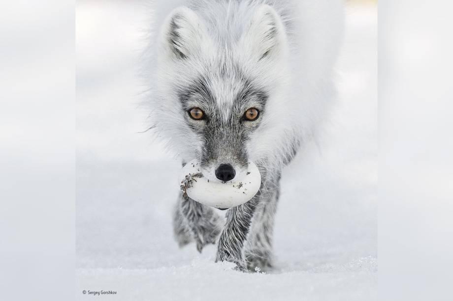 Uma raposa antártica carrega o ovo de ganso-das-neves que acabou de roubar de um ninho até um local seguro para devorá-lo