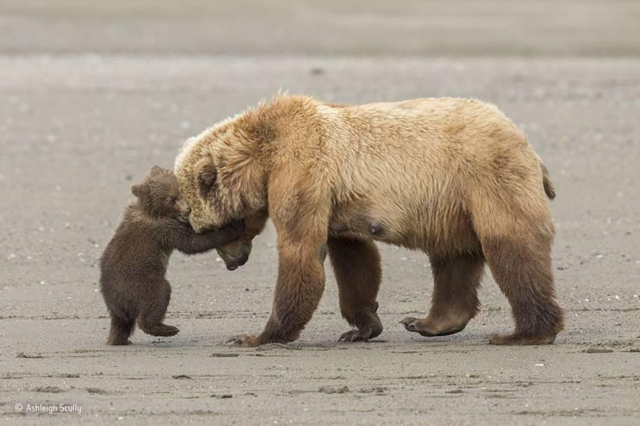 Ursa atravessa a praia com seus filhotes depois de caçar amêijoas na maré baixa. Uma das crias tenta brincar com a mãe no percurso.