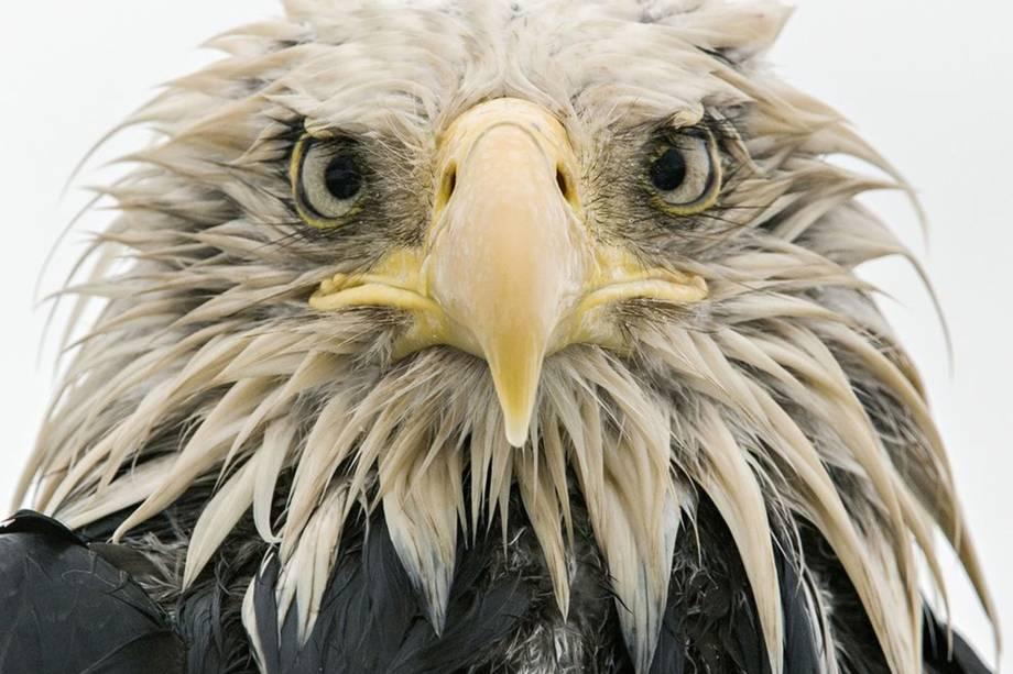 Uma águia-careca posa molhada depois de vários dias de chuva constante
