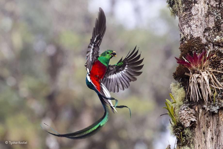 Um quetzal, ave e<span>ncontrada nas zonas tropicais da América Central, carrega uma pequena fruta até seu ninho, para alimentar seus dois filhotes. O fotógrafo observou o casal de aves e suas crias, que construíram seu lar em uma floresta da Costa Rica, por mais de uma semana antes de fazer o clique.</span>