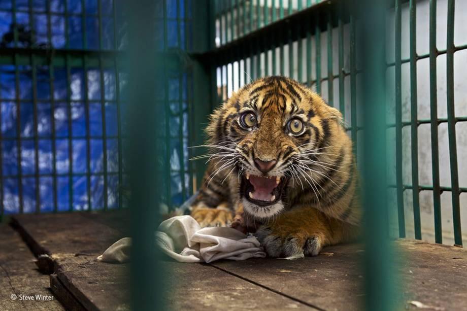 Filhote de tigre acuado em uma jaula depois de ter sido resgatado para tratar um ferimento em sua perna traseira. O animal ficou preso em uma armadilha por quatro dias antes de ser encontrado na floresta em que estava, localizada na ilha indonésia de Sumatra