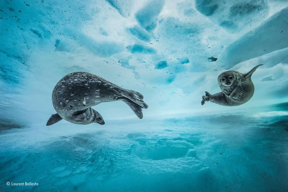 Uma mãe leva seu filhote para nadar pela primeira vez, no começo da primavera, no leste da Antártida