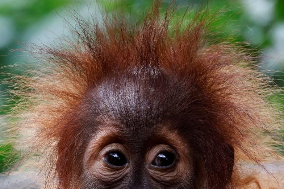 Os olhos graciosos de um bebê Orangotango são fotografados no zoológico de Singapura - 19/10/2017