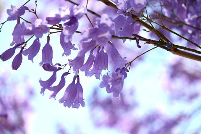 Jacarandá Mimosifolia